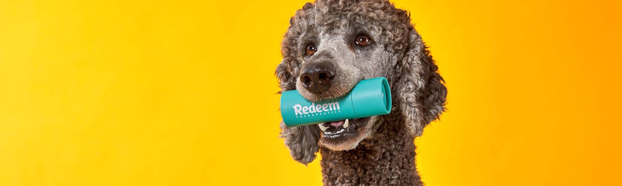 Large poodle dog holding a container of Redeem Therapeutics in his mouth